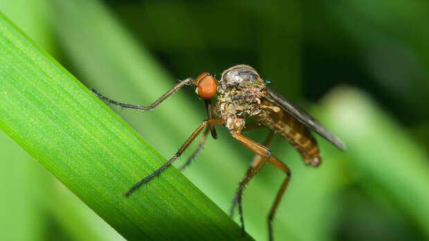 Куры против комаров