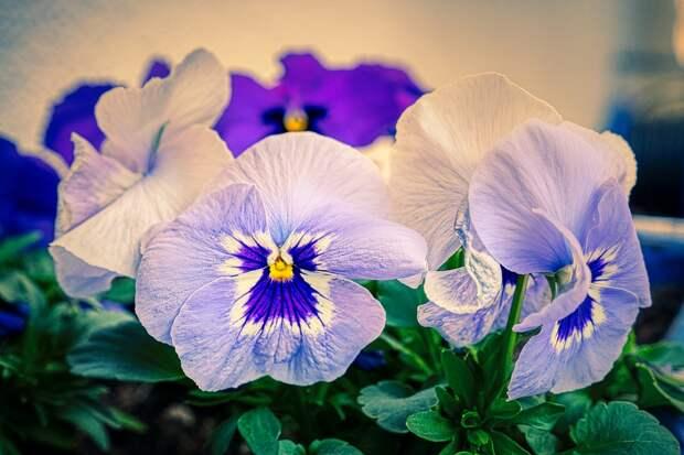 Анютины Глазки, Цветы, Растений, Фиолетовые Цветы