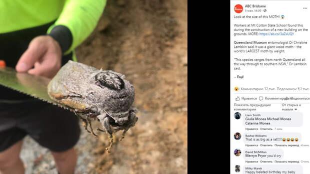 Строители случайно нашли в Австралии моль гигантских размеров