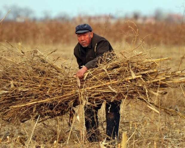 Фермер на поле в округе Цанчжоу, провинция Хэбэй