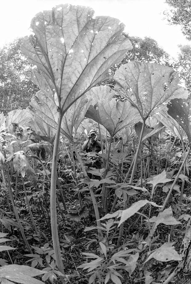 Почему на Сахалине растут гигантские лопухи?