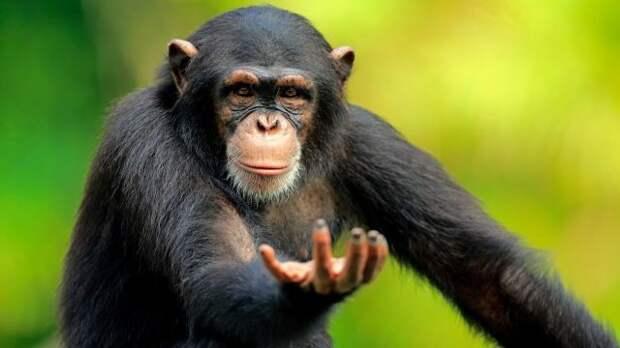 Почему шимпанзе сильнее людей Обезьяна, Человек, Наука, Сила, Мышцы, Эволюция