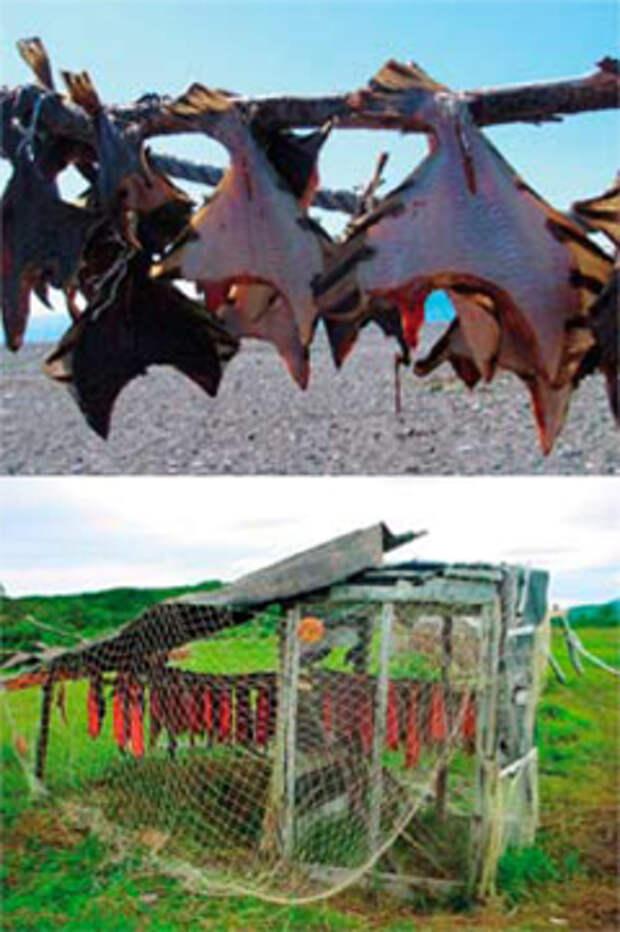 Рыба, приготовленная разными способами, всегда была главным блюдом на столе камчатских аборигенов. Зимой исключительно полезна и для людей, и для собак вяленая камбала. Порса — высушенная и мелко истолченная рыба — используется и в качестве закуски: к примеру, у коряков принято закусывать мухоморы полной ложкой порсы. Юкола — так на Камчатке называется вяленная на солнце копченая рыба — является одним из самых распространенных продуктов в рационе питания не только людей, но и собак. На фотографии — юкольник, строение для сушки рыбы; сетка служит для защиты от прожорливых чаек