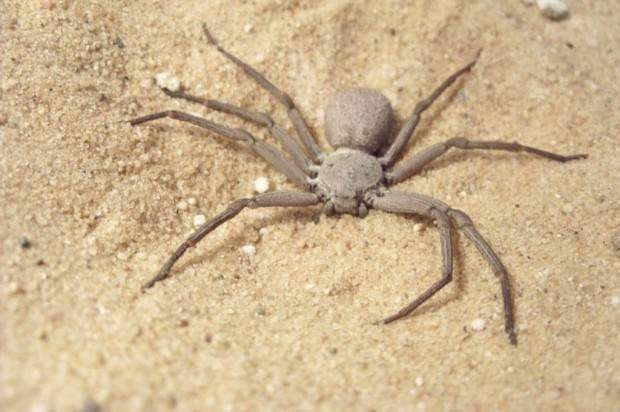 Шестиглазый песочный паук (лат. Sicarius hahni) (англ. Six-eyed sand spider)