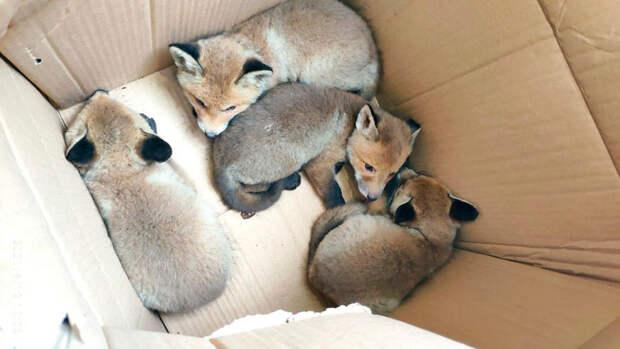 В столице спасли лису и ее детенышей