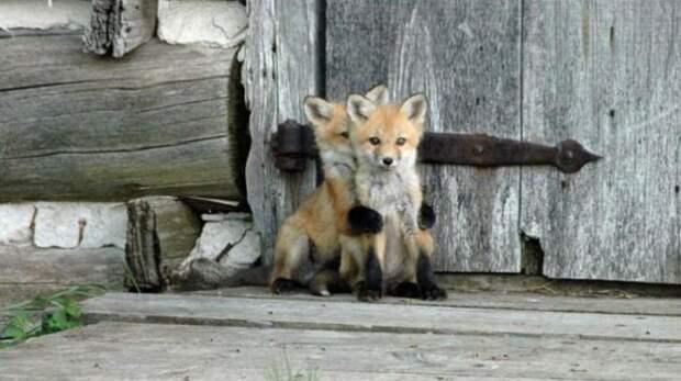 Рыжие пушистики: фотоподборка очаровательных лисичек