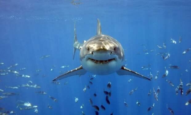 Большая белая акула  — акула, которую невозможно держать в неволе