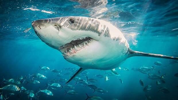 Акулы мигрируют на огромные расстояния благодаря магнитному полю