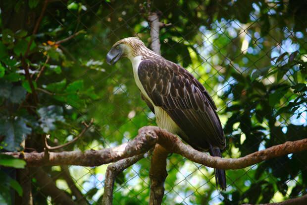 Филиппинский орёл. (Klaus Stiefel)