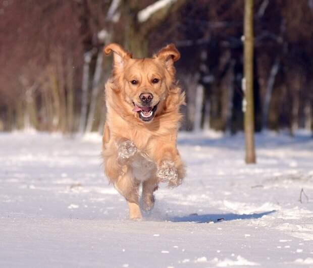 Выскочив на улицу пес бросился бежать со всех лап к своему любимому дереву. Долго гулять не удалось. К вечеру резко похолодало, и Алла уже через 20 минут заметно продрогла в своем пальтишке, надетом на легкую блузку. Пес идти домой никак не хотел. Он носился по снегу, подкидывая вверх и ловя на лету свою любимую резиновую игрушку, без которой не проходило ни одна прогулка.