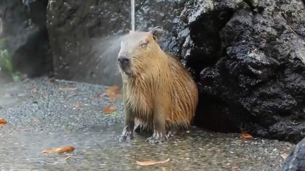 Погружение в нирвану: капибары принимают душ