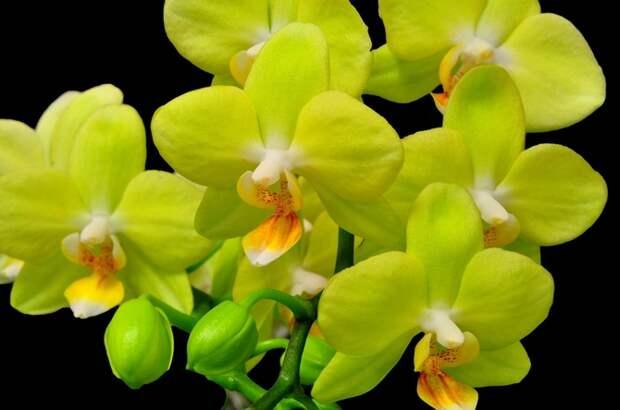 Орхидея, желтая, цветок, крупный план, ветка, черный фон обои, фото, картинки.