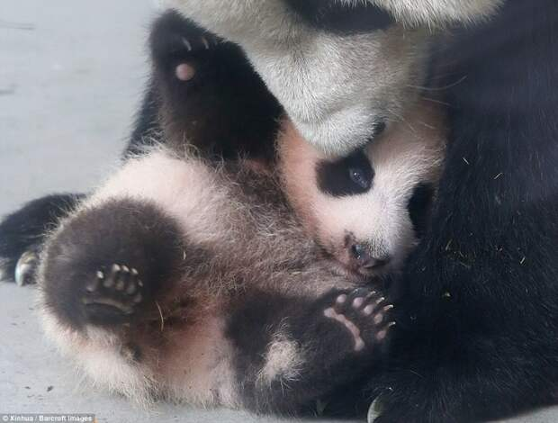 Малышка панда учится ходить Панда видео, панда учится ходить, панды