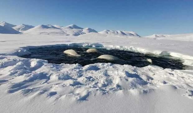 Чукотский нацпарк «Берингия» не будет спасать попавших в ледовый плен белух