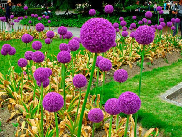 Многолетний садовый цветок Лук (Allium)