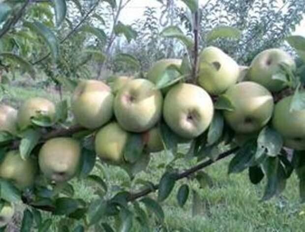 Зимние сорта яблонь: виды и их характеристики
