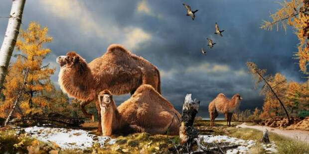 Корабль пустыни: 19 и один интересный факт о верблюде