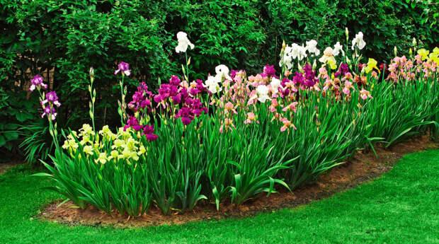 Многолетний садовый цветок Ирис (Iris)