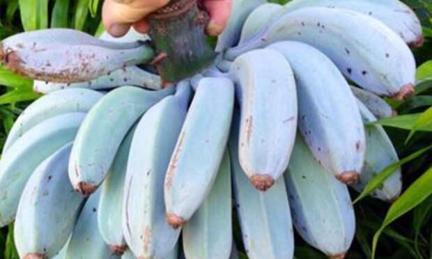Голубые бананы: на вкус как мороженое