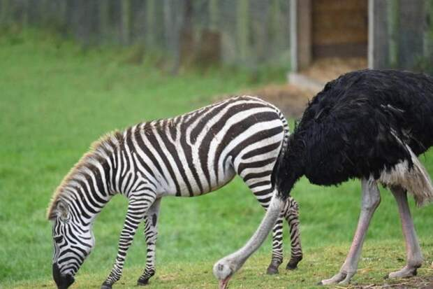 Почему страус из сафари-парка возомнил себя зеброй
