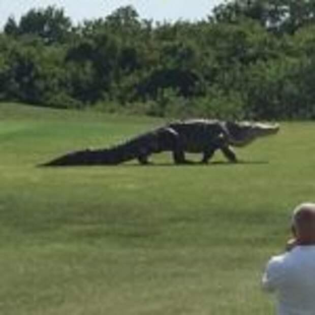 Гигантский аллигатор выбрался в поле и напугал игроков