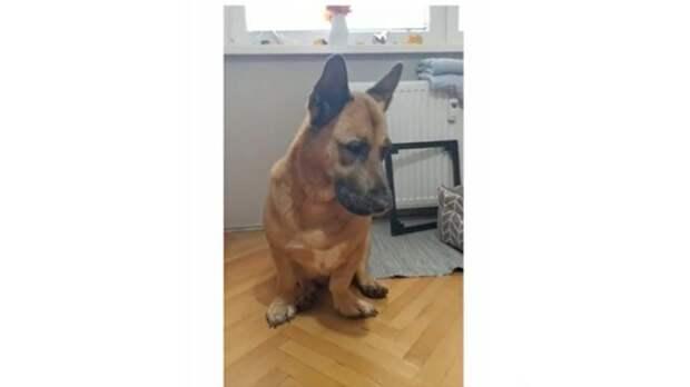 В Сети нашли собаку с мордой немецкой овчарки и лапами корги (фото)