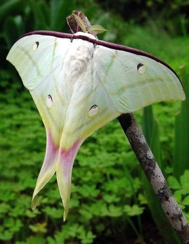 Частое использование механизма самозащиты и отпугивания хищников истощает гусениц бабочек-капустниц, увеличивает их смертность, а у выживших особей приводит к преждевременному метаморфозу. бабочки, интересное, красота, насекомые