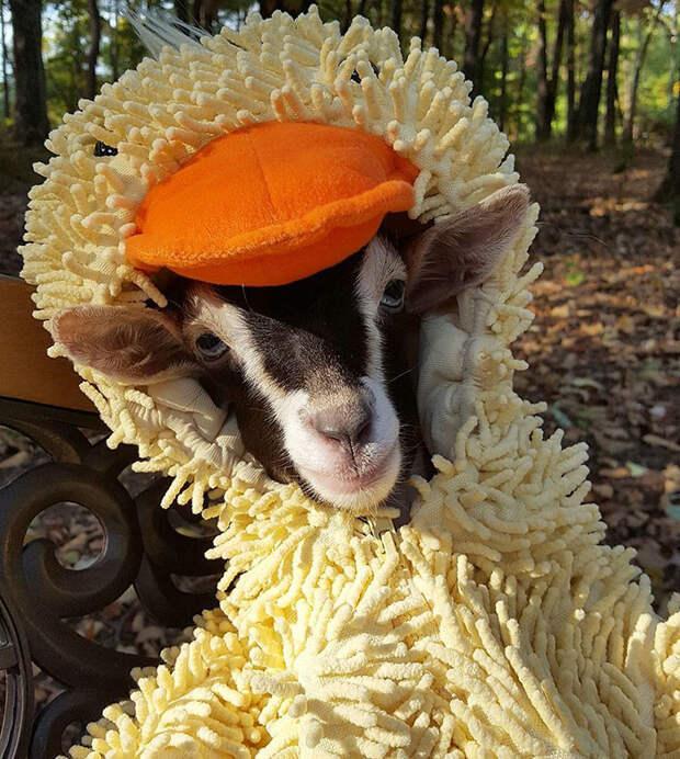 Хозяйка вылечила невроз у козы с помощью маскарадного костюма домашние животные, коза, лечение, маскарадный костюм, невроз