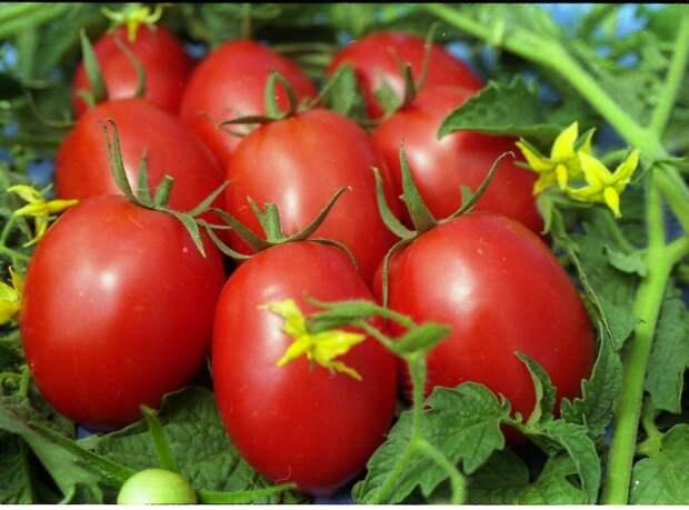 Самые вкусные и урожайные сорта томатов.