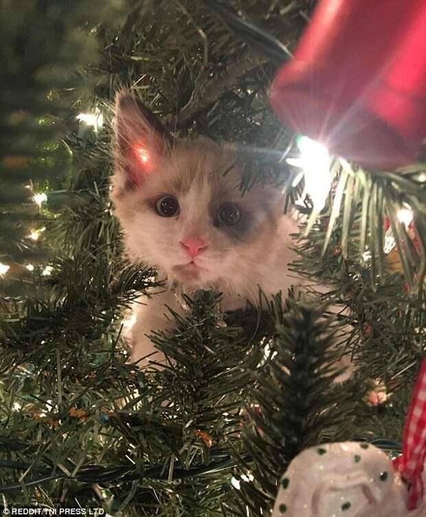 Любопытство у кошки не отнять животные, кот, коты, кошки, новый год, приколы с животными, фото, юмор