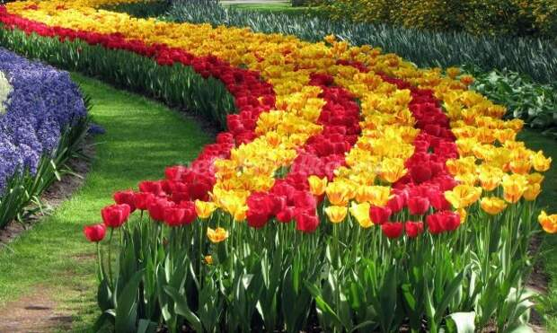 Страшная месть Яценюка: премьер вводит эмбарго на тюльпаны из Нидерландов