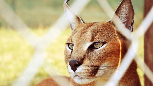 Дикие и красивые: топ-7 опасных, но очаровательных кошек