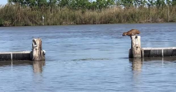 Рысь впечатлила людей своим мощным прыжком через плотину