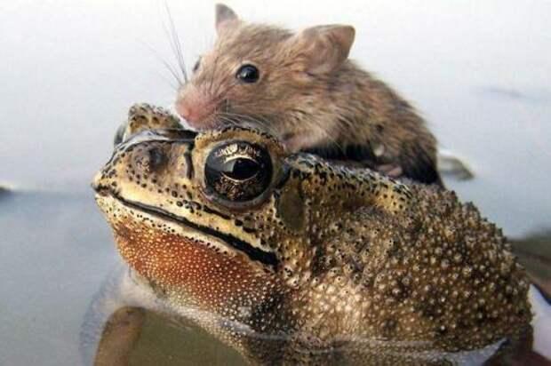 Лягушка с добрым сердцем спасла крысу от верной смерти