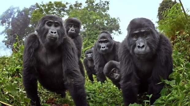 Примутли горные гориллы всвою стаю маленького робота?