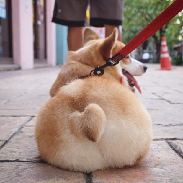 25 умилительных фото корги, которые дают понять, почему эти собаки так популярны вельш-корги, корги, пемброк, порода, смешные фото, собака