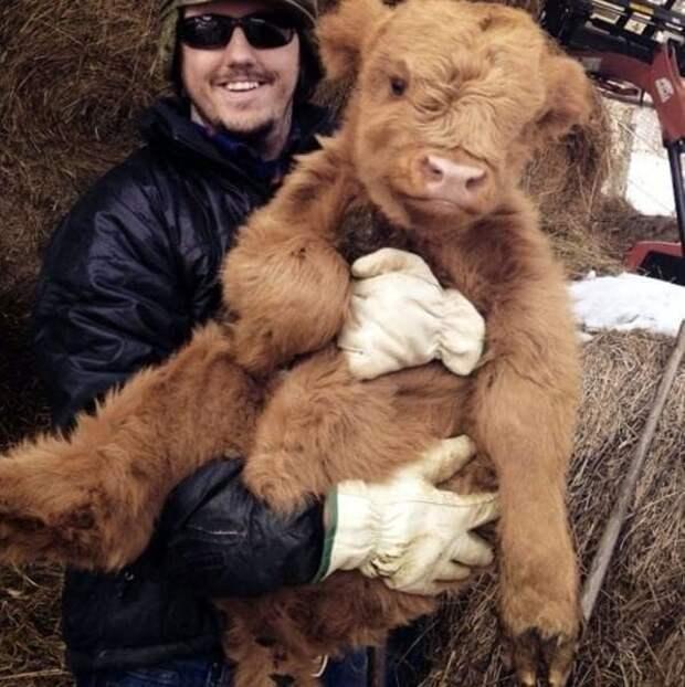 14. Очень пушистые животные, корова, коровы, милота, позитив, собаки, факты