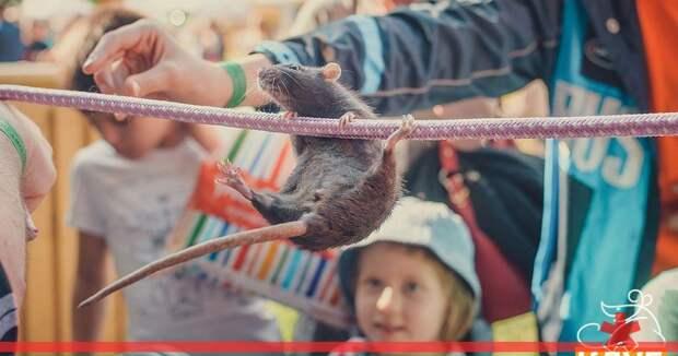 Крысы-канатоходцы посоревнуются в Петербурге в день выборов