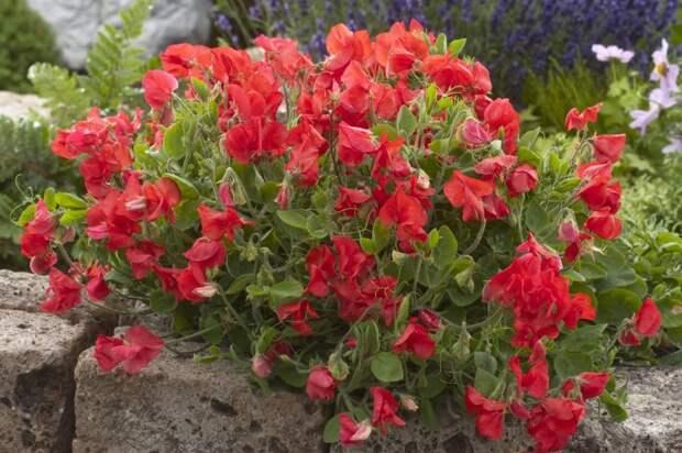 Дачные цветы, которые так любили выращивать наши Бабушки, а мы про них почему то Забыли