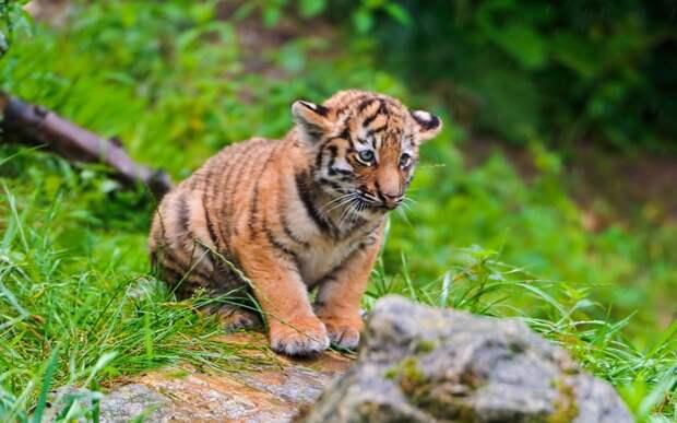 10 интересных фактов о тиграх!