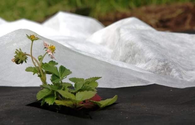 Белый спанбонд защищает растения от низких ночных температур и возвратных заморозков