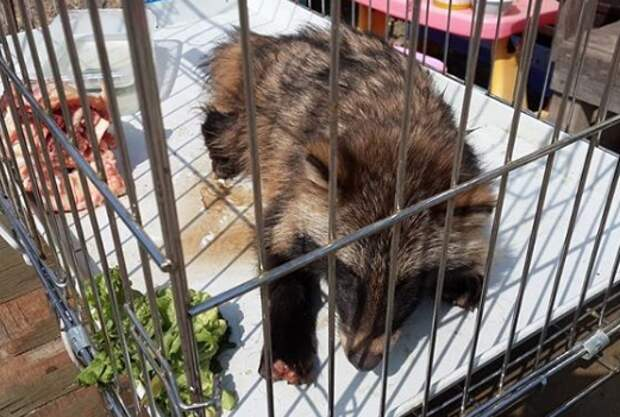 Приморские туристы отбили енотовидную собаку у стаи бродячих псов