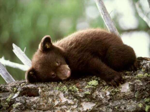 И в туалет не ходят: как устроена медвежья спячка