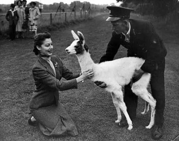 """Ава Гарднер в Лондонском зоопарке в период съемок """"Пандоры и Летучего Голландца"""", 1951"""