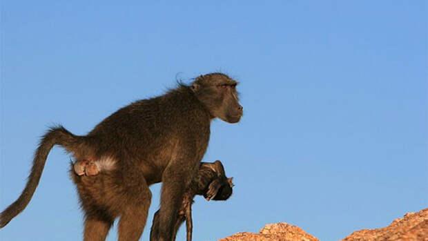 Антропологи выяснили, зачем приматы носят с собой трупы детенышей