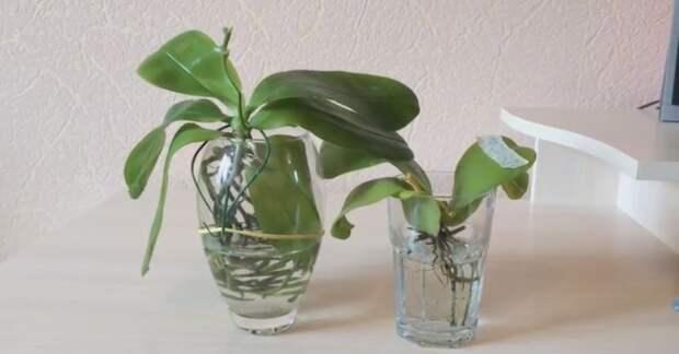 Как размножить орхидею из листа