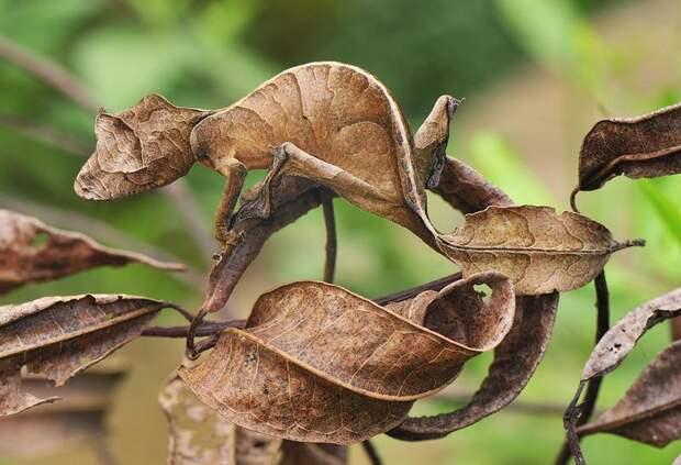 Гекконы - красавчики по части камуфляжа животные, интересное, красота, мимикрия, природа, спрятались