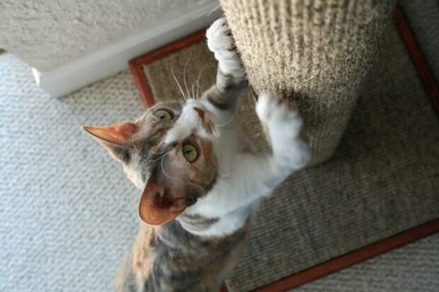 Почему кошка обдирает обои и царапает мебель? Как её отучить: простые советы