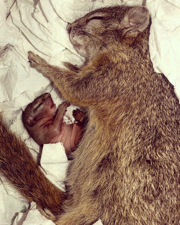 Люди выходили эту белку и выпустили в лес, но она вернулась к ним, когда сама готовилась стать мамой
