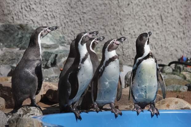Теплая зима: у пингвинов Гумбольдта в Ижевском зоопарке раньше обычного наступил брачный период